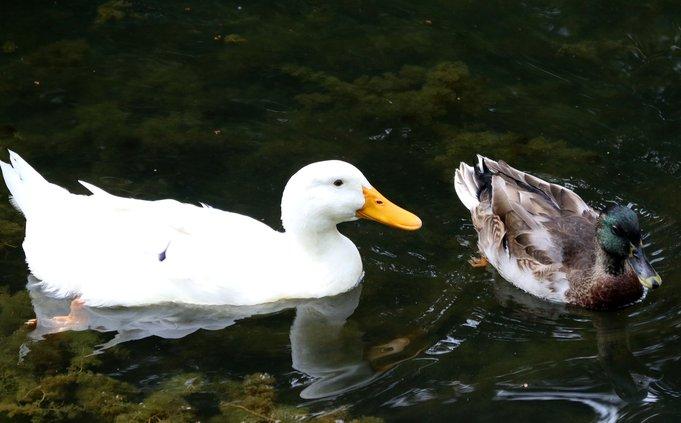 06242019_crj_ducks_0038.jpg